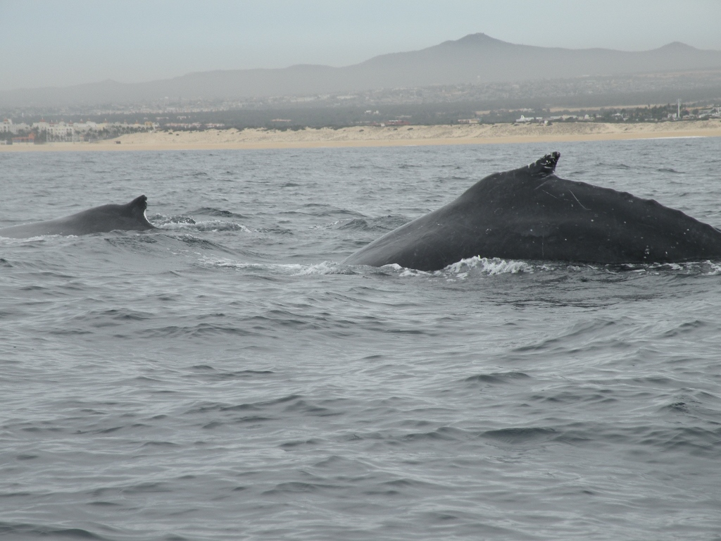 Humpback Whales, Cabo