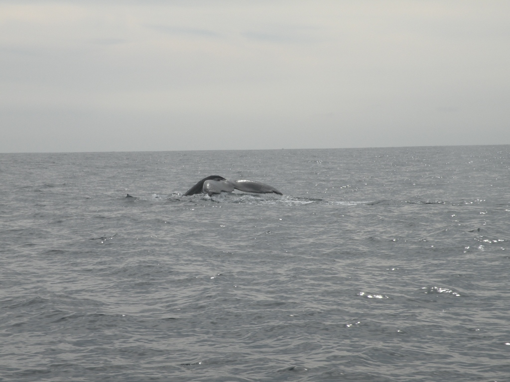Humpback Whale, Cabo