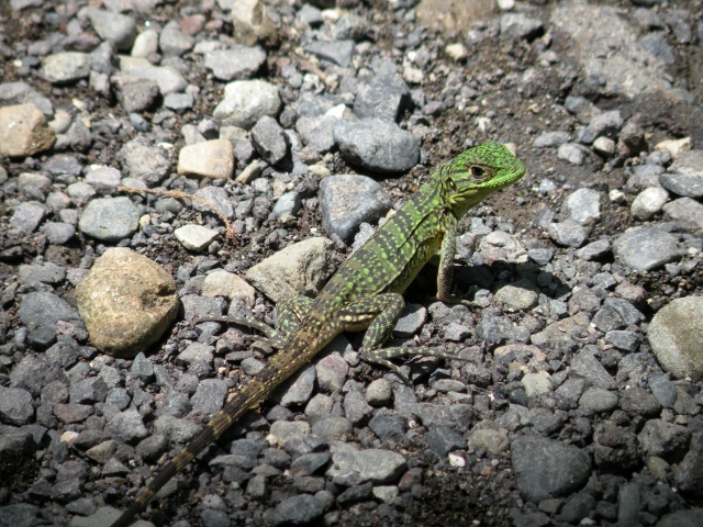 Green Spiney Lizard