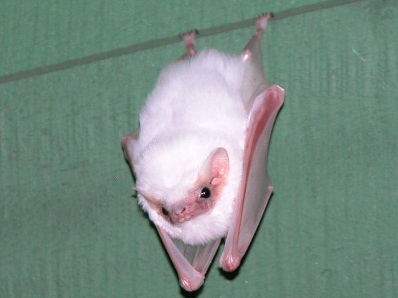 41 Types of Blue Flowers - ProFlowers Blog Honduran white bat pictures