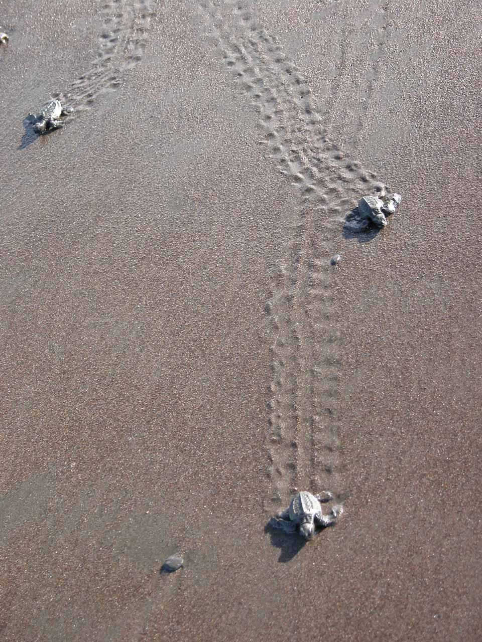 Olive Ridley Newborns Heading To The Sea