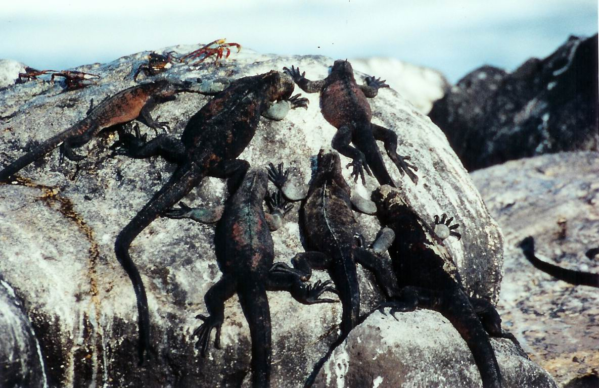Marine Iguanas and Sally Lightfoot Crabs