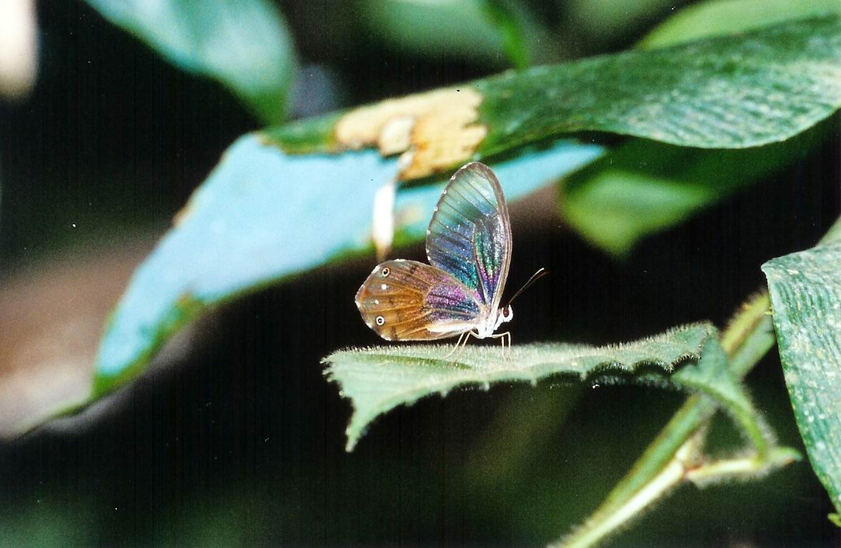 Clear Butterfly
