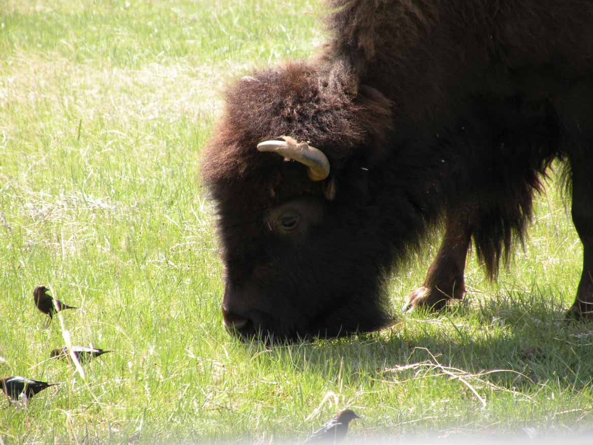 Bison in Custer State Park