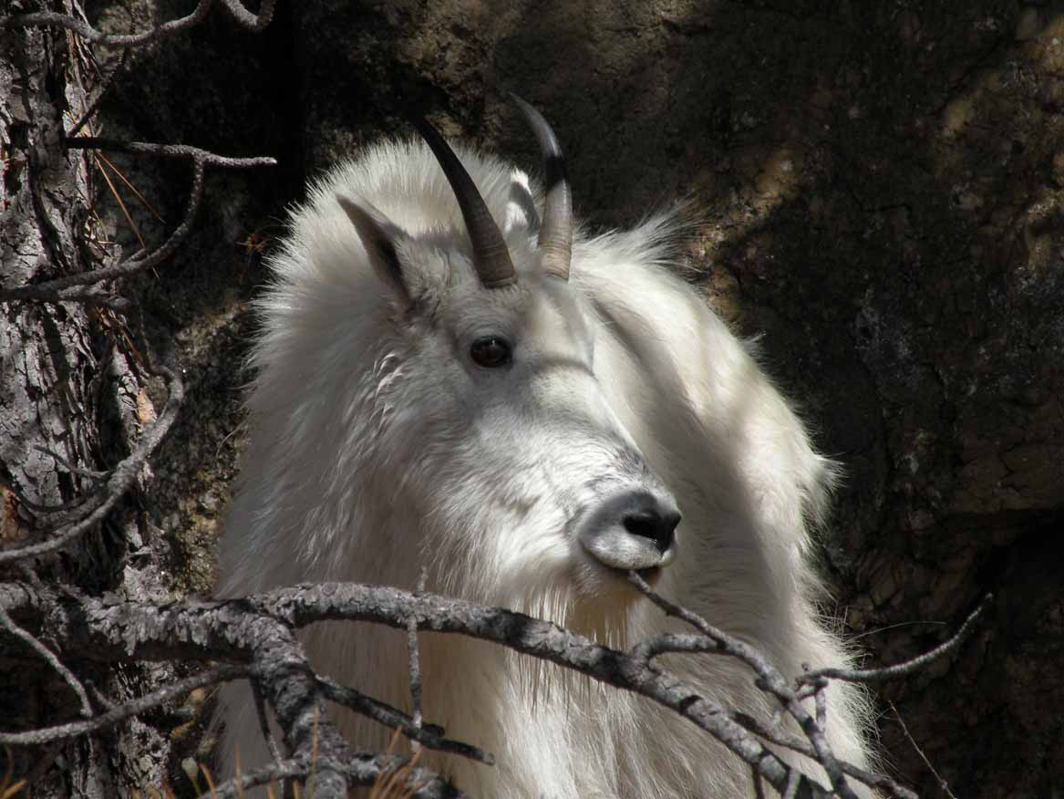 Mountain Goat in the Black Hills
