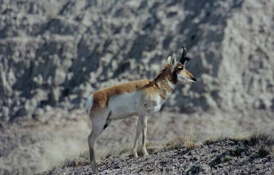 Pronghorn Antelope in the Badlands