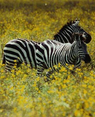 Zebras In Yellow Flowers